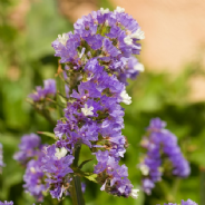 Statice latifolia - Sea Lavender - 120 seeds